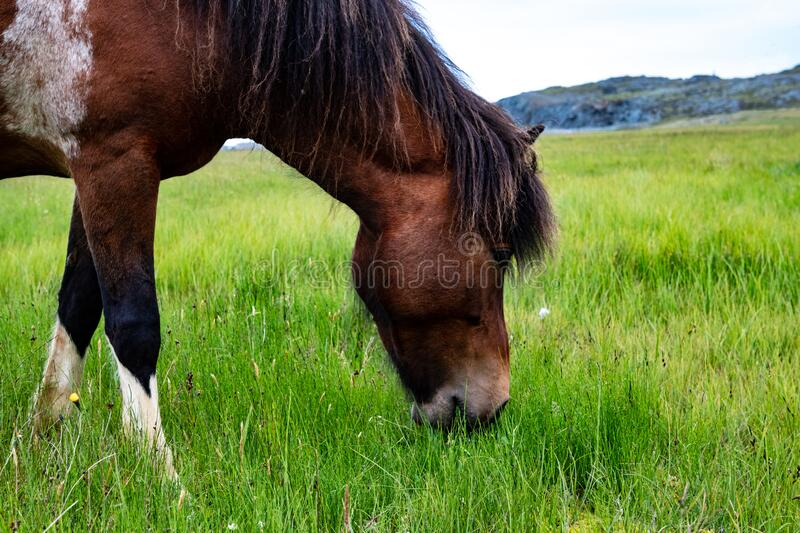 A Brown And White Horse Grazing. A brown and white Icelandic horse grazing freely in an open meadow royalty free stock photo