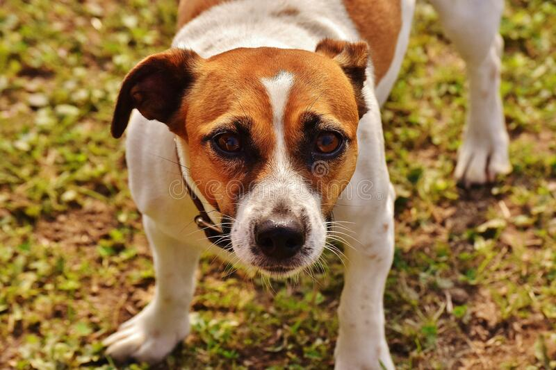 Brown and White Jack Russell Terrier stock photo