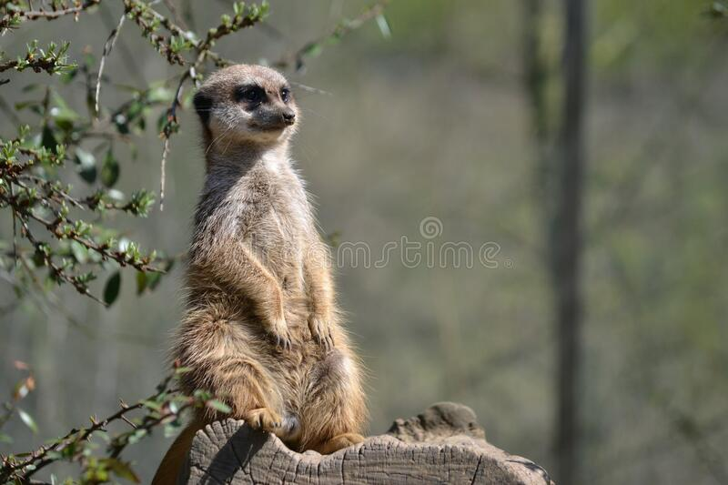 Brown and White 2 Legged Animal Standing on Tree Branch stock photo