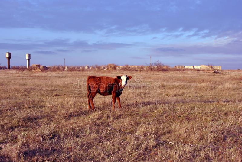 Brown and white male calf tied with a chain standing on a grassy yellow meadow with old farm, side view, blue cloudy autumn sky royalty free stock photography