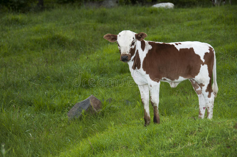 Brown and White nguni standing alone royalty free stock photo
