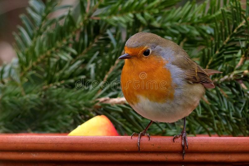 Brown White and Orange Small Bird Perched on Wood Near Pine Tree Leaf stock photography