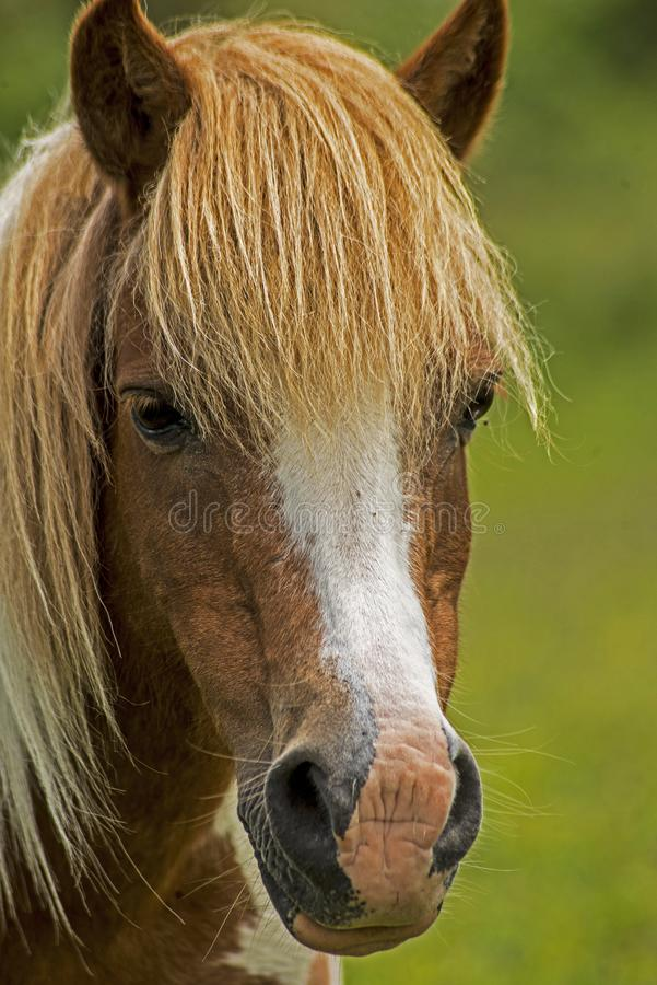 Head shot of a Palomino Shetland Pony with the long mane. stock images