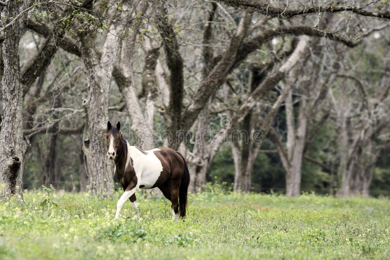 Brown and white pinto horse walking in pecan grove. Brown & white mare walking in an old pecan grove stock photo