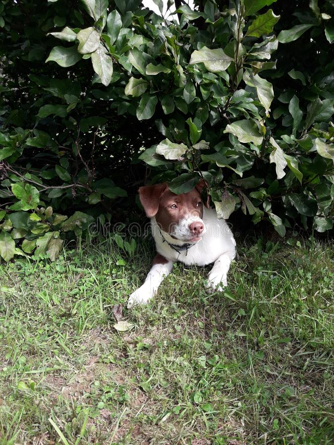 Brown and white Puppy relaxing under a tree away from the sun royalty free stock image