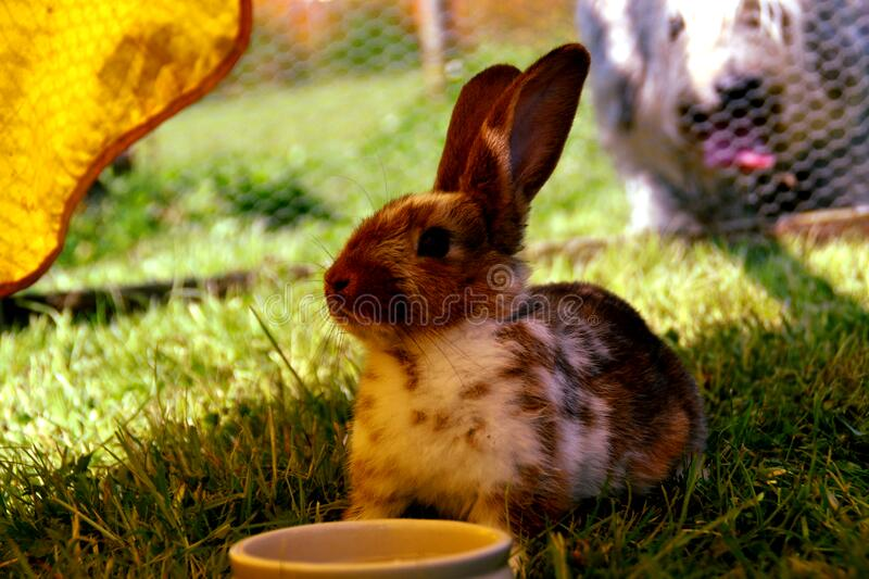 Brown and White Rabbit on Green Grass stock photos
