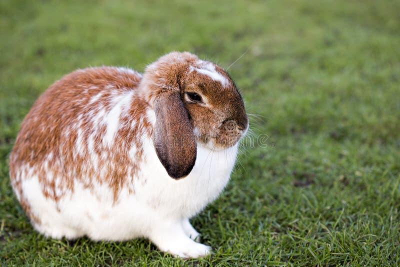 Brown white rabbit. Sitting on the grass stock photo