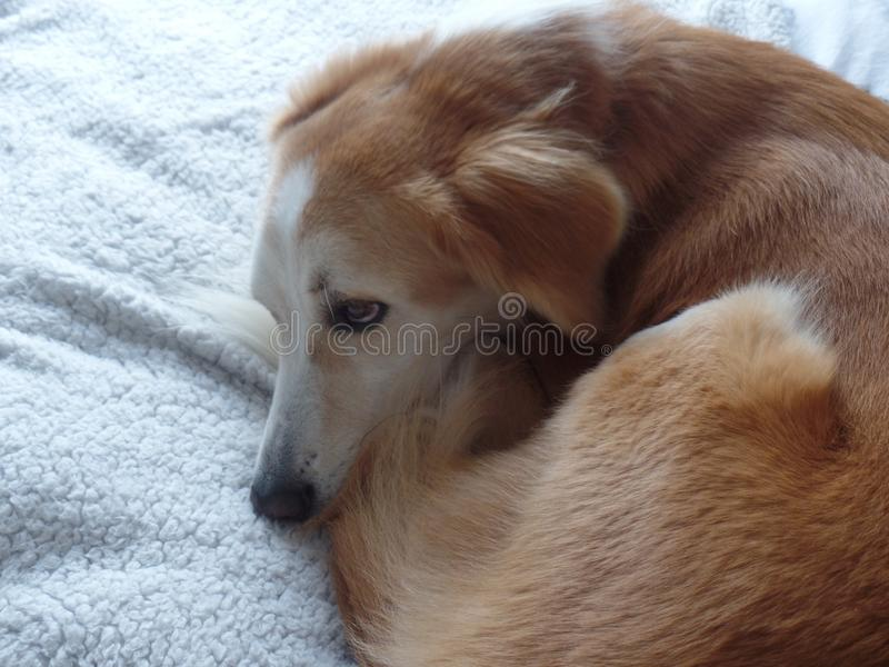 Dog curled up on a blanket stock photos