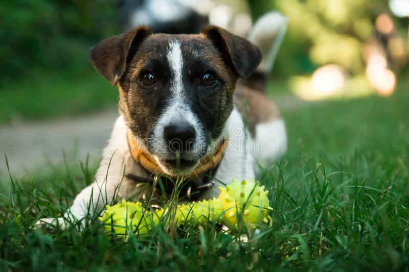 Brown and White Short Coated Dog on Green Green Grass Beside Yellow Dog Bone Toy during Daytime stock image