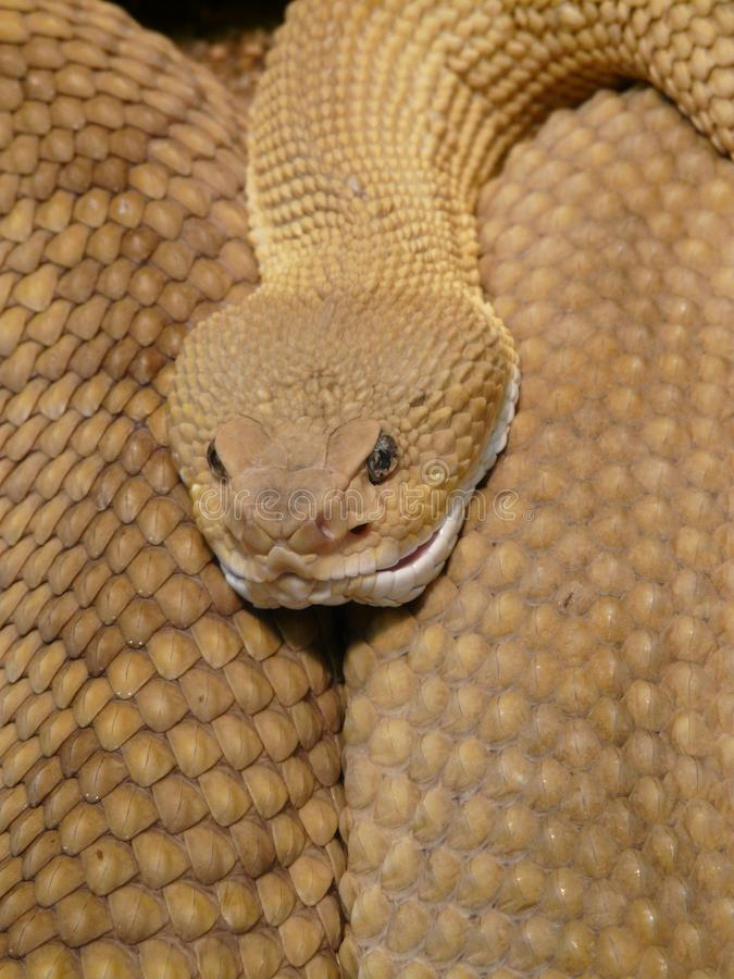 Brown and White Snake royalty free stock photo