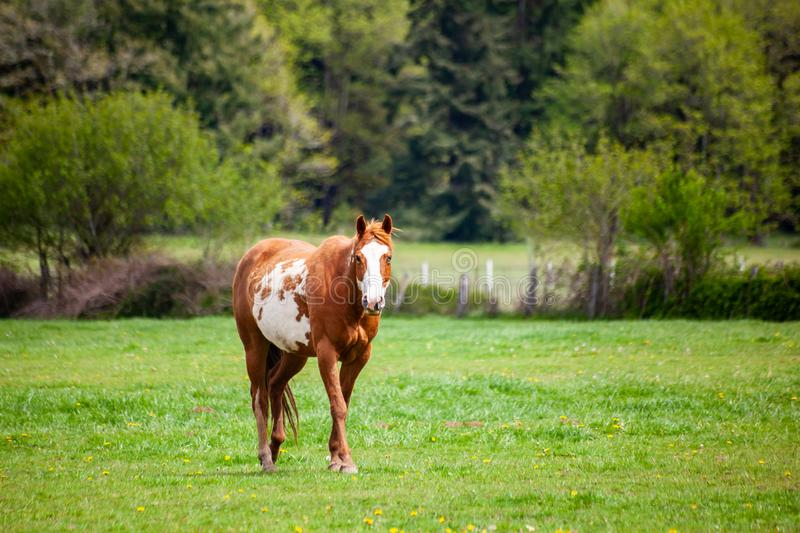 A brown and white sorrel pinto horse with bald face and heterochromia iridium eyes walking in a pasture stock photos