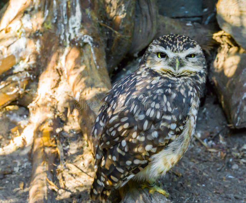 Brown white spotted little owl making a angry face closeup of a nocturnal wild predator bird royalty free stock photography