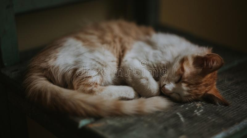 Brown and White Tabby Cat royalty free stock images