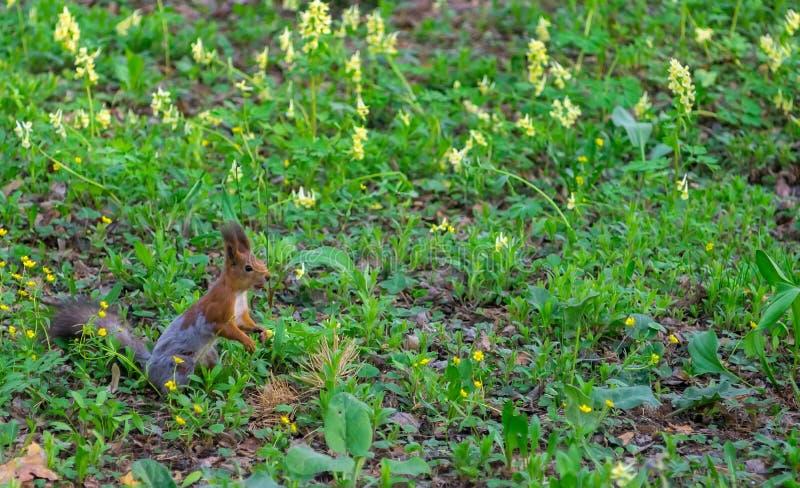 Brown wiewiórka zmienia futerko od zimy lato fotografia stock