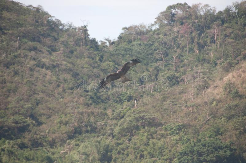 Brown wild Arab desert eagle hawk falcon Peregrinus plumage bird flying and spreading wings in the forest.  royalty free stock photos