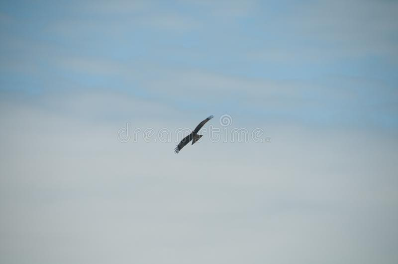 Brown wild Arab desert eagle hawk falcon Peregrinus plumage bird flying and spreading wings over blue sky.  stock photography