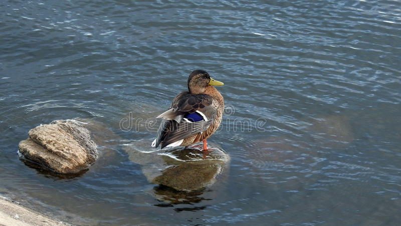 Brown wild duck. Beautiful wild duck resting on stone, Lithuania stock photography