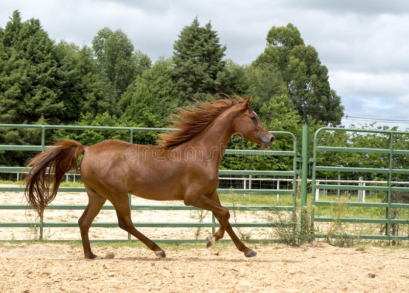 Brown wild Horse. Adult Brown arabian horse running stock photography