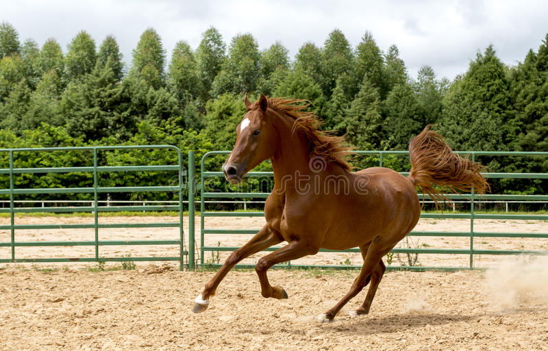 Brown wild Horse. Adult Brown arabian horse running royalty free stock photos