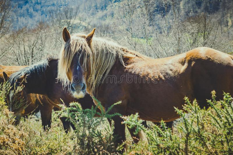Brown wild horse grazing in the bush with her herd royalty free stock photography