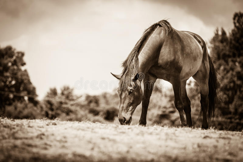 Brown wild horse on meadow idyllic field. Agricultural mammals animals in natural environment stock photos