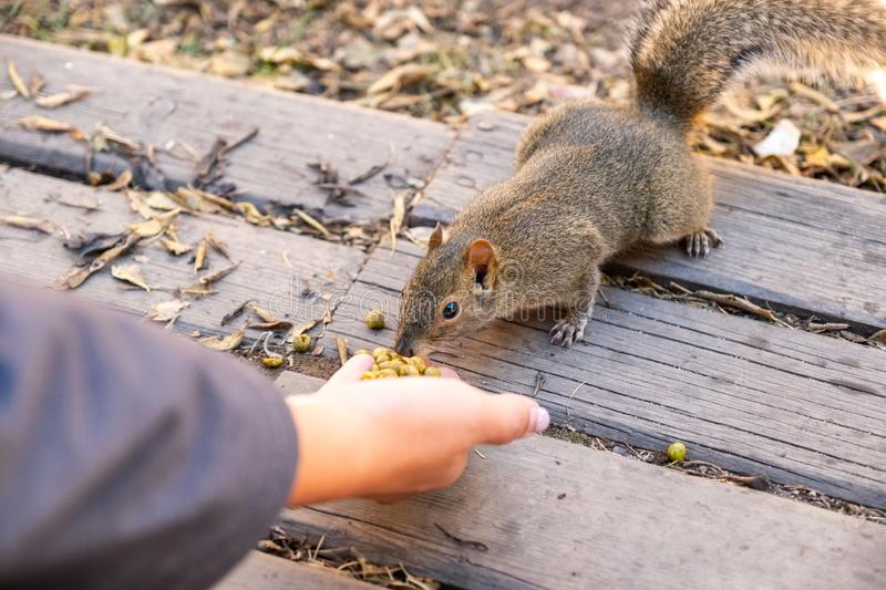 Brown wild Squirrel eating beans on palm hand. In national park royalty free stock image