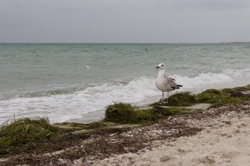 Brown windy seagull against storm on sea. Wild birds concept. Seagull on sand beach in hurricane day. Flying and freedom concept. Wildlife and seabirds stock photos