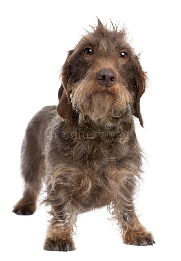 Brown Wire-haired dachshund (3 yeras old)