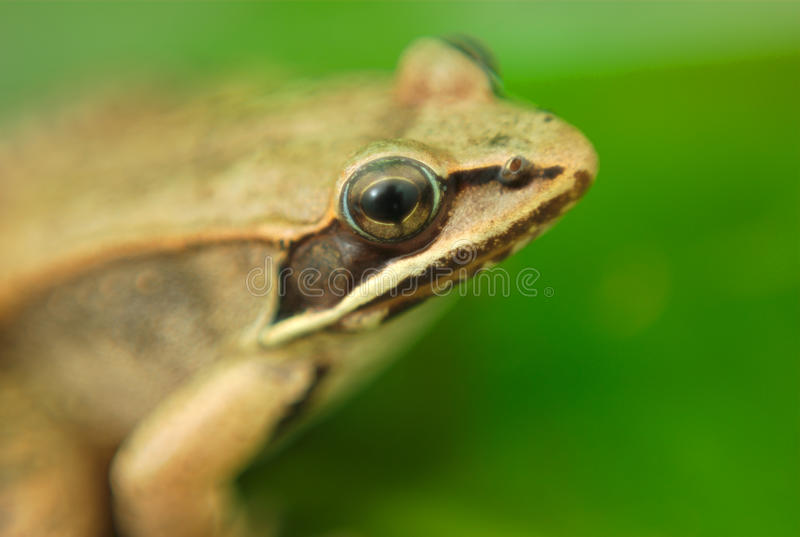 Brown wood frog on green waterlily leaf in nature. Wood frog and green waterlily, amphibian macro and green leaf stock photography