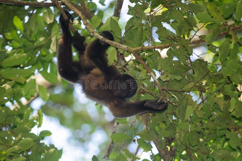 Brown Woolly Monkey (Lagothrix lagotricha) royalty free stock image