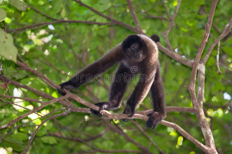 Brown Wooly Monkey stock images