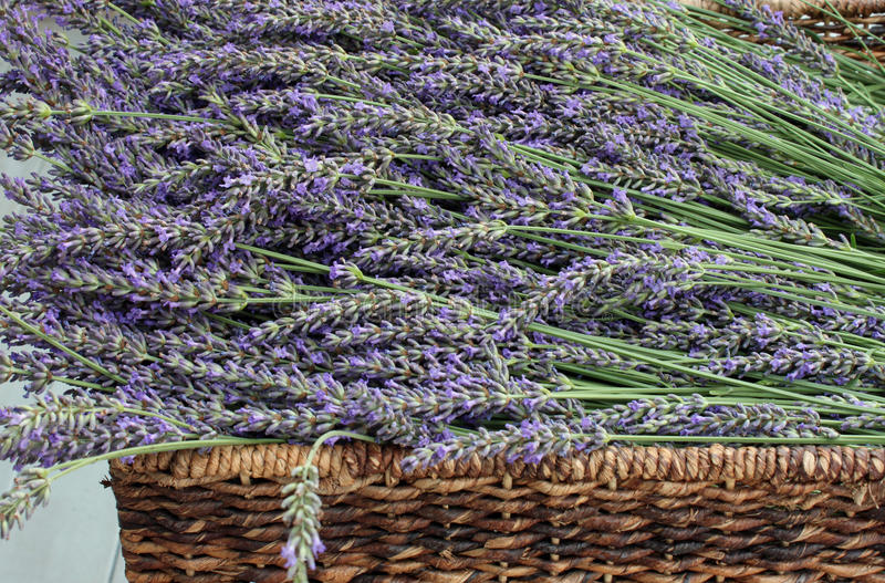 Brown Woven Basket Full of Fresh Picked Lavender. Closeup of a Brown Woven Basket Full of Fresh Picked Lavender royalty free stock photo