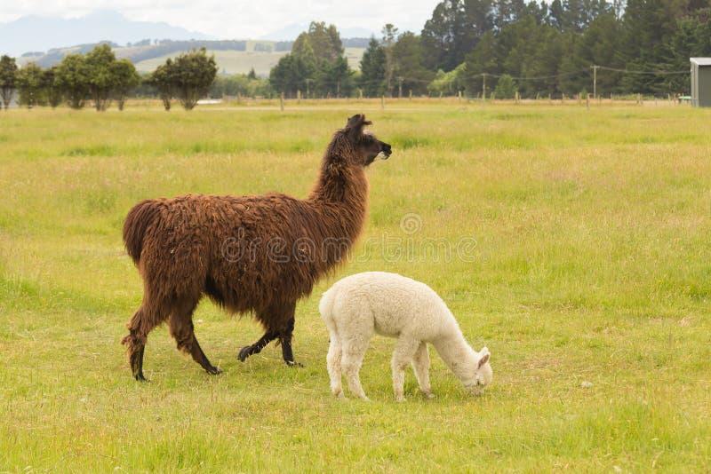 Brown y alpaca linda blanca del bebé fotos de archivo libres de regalías
