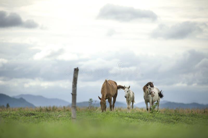 Brown y caballos blancos que corren en campo verde fotografía de archivo