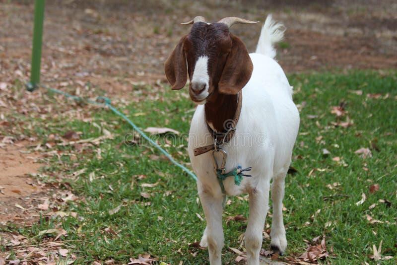 Brown y cabra blanca del animal doméstico imagenes de archivo
