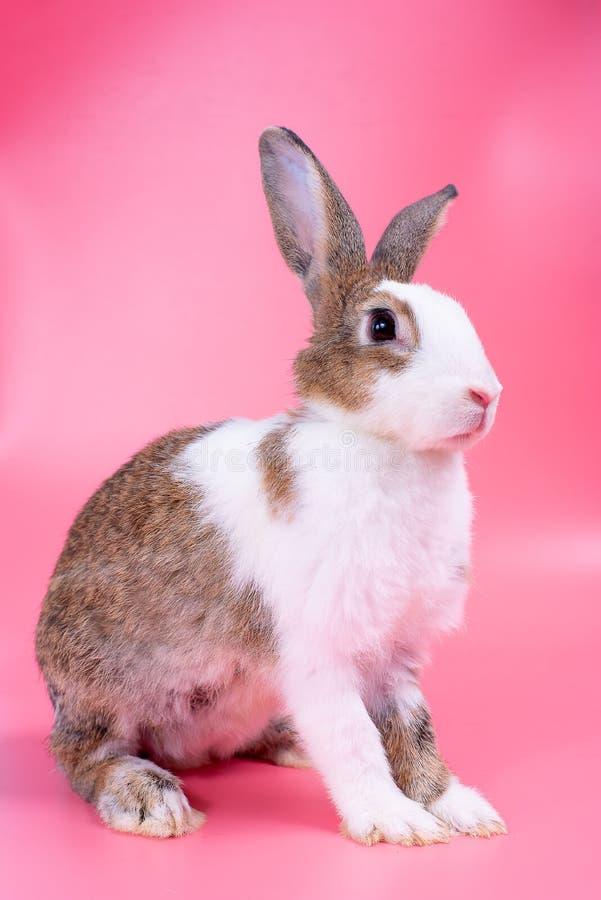 Brown y conejo de conejito blanco con los soportes largos de los oídos delante del fondo rosado fotos de archivo libres de regalías