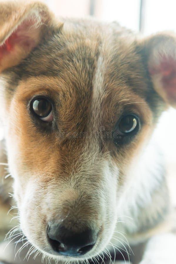 Brown y el color blanco, lindo y pequeño, Terrier mezclaron el perro nacional amistoso indio de la raza con los ojos tristes mira foto de archivo