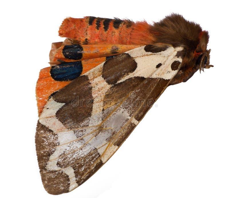 Brown y mariposa anaranjada aislados en blanco fotos de archivo