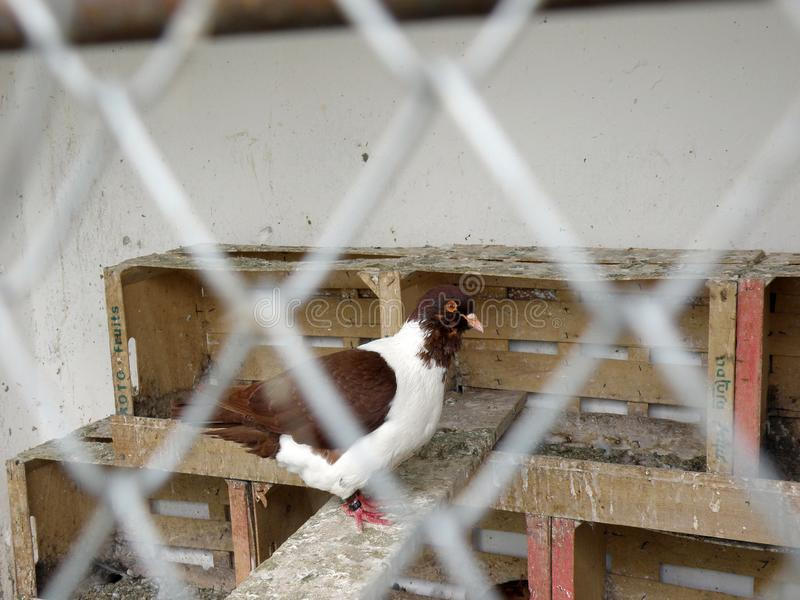 Brown y paloma blanca en jaula imagen de archivo