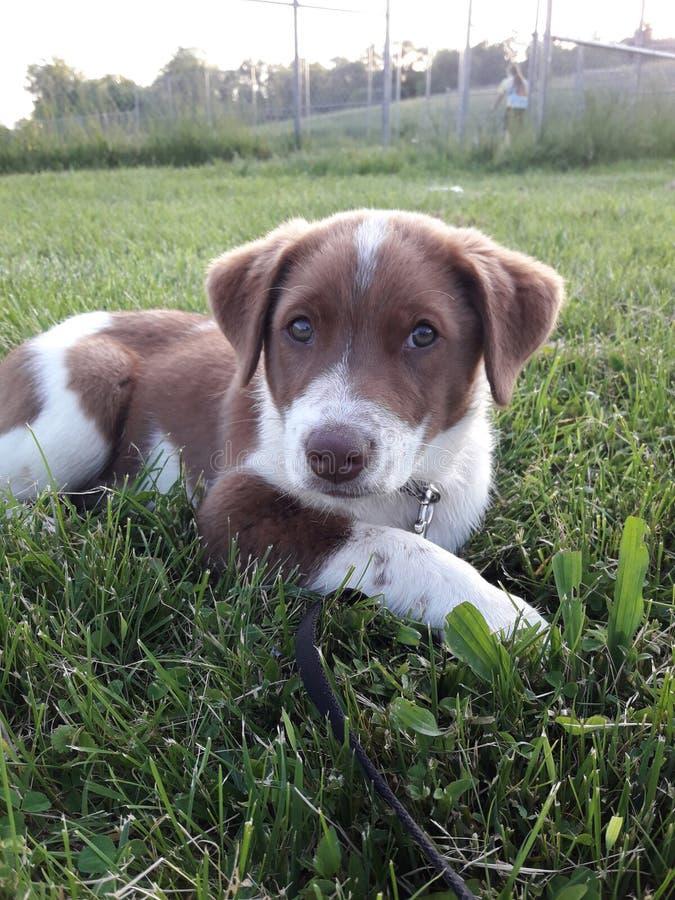 Brown y perrito blanco que se relajan en la hierba foto de archivo libre de regalías