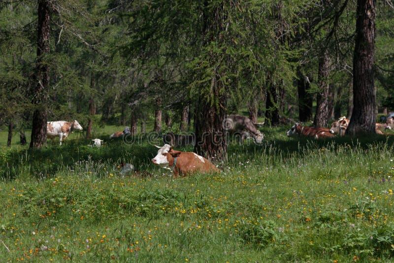 Brown y vaca manchada blanco que pastan en tierras de pasto: Italiano imágenes de archivo libres de regalías