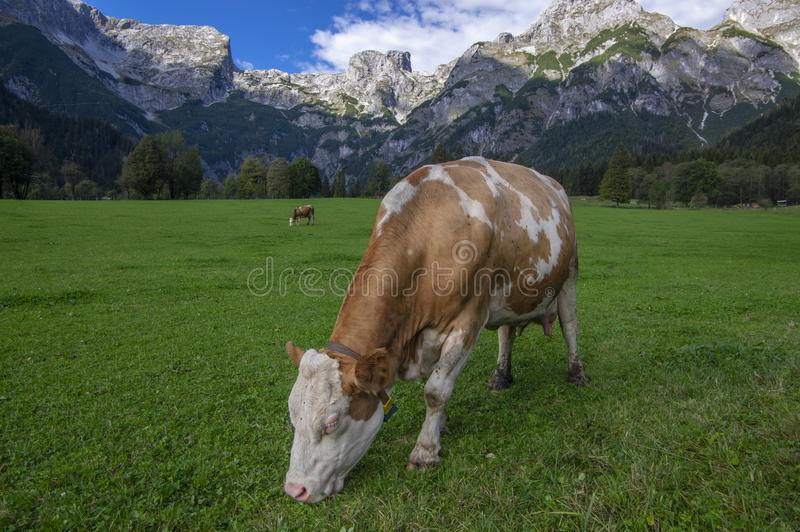 Brown y vacas blancas en pasto, montañas austríacas de Verfenveng, paisaje hermoso fotos de archivo