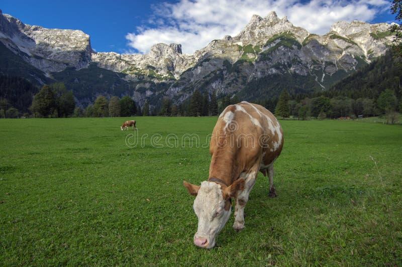 Brown y vacas blancas en pasto, montañas austríacas de Verfenveng, paisaje hermoso imagen de archivo libre de regalías