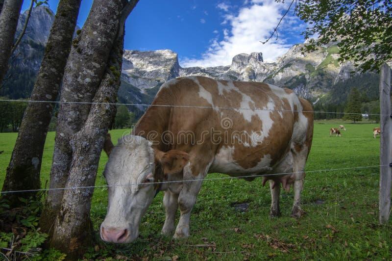Brown y vacas blancas en pasto, monta?as austr?acas de Verfenveng, paisaje hermoso imagenes de archivo