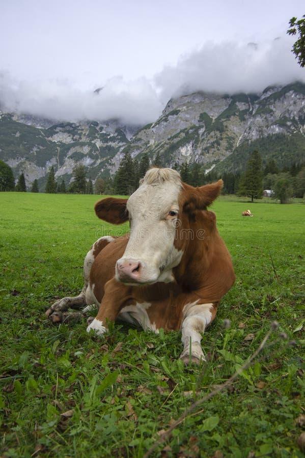 Brown y vacas blancas en pasto, monta?as austr?acas de Verfenveng, paisaje hermoso foto de archivo