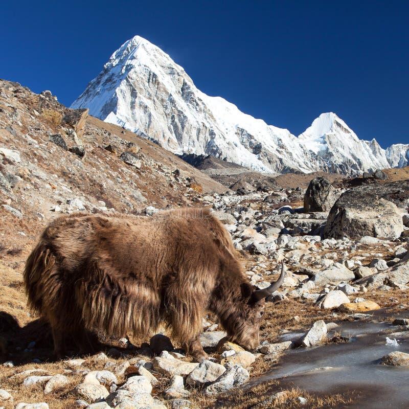 Free Brown Yak And Mount Pumo Ri - Nepal Himalayas Mountains Stock Image - 133969701
