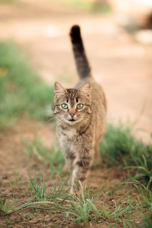 Free Brown Yard Cat Striped With Big Green Eyes Purposefully Goes To The Camera Stock Images - 220796314