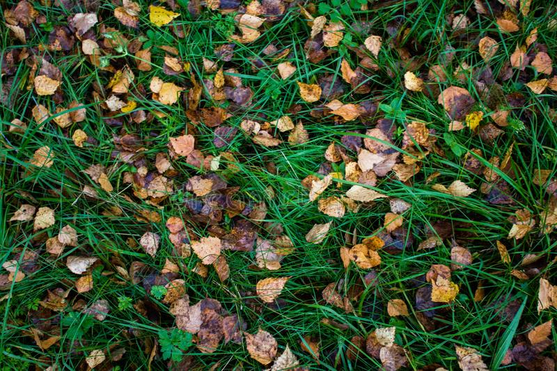 Brown and yellow aspen leaves on the wet green grass in the forest in autumn. Autumn nature in Russia stock photography