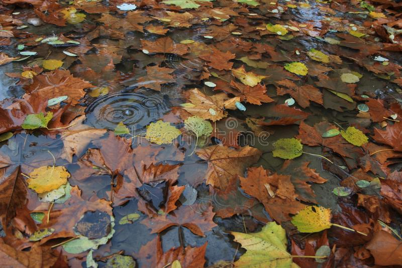 Autumn leaves in the rain royalty free stock photography