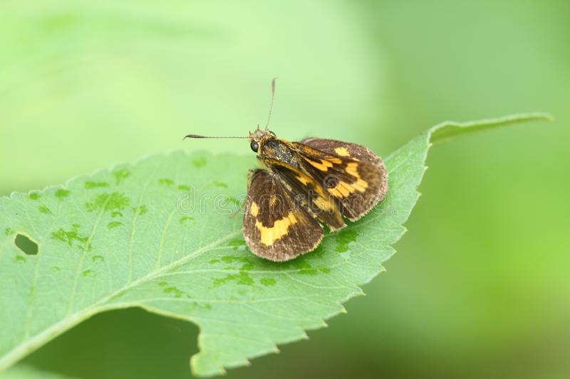 Brown yellow butterfly in Hong Kong rural area royalty free stock images